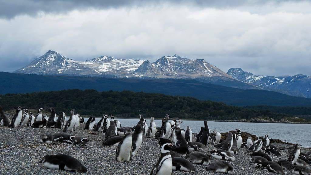 Pinguins na Ilha Martillo durante o verão em Ushuaia